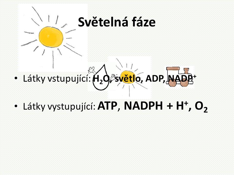 Světelná fáze Látky vstupující: H2O, světlo, ADP, NADP+