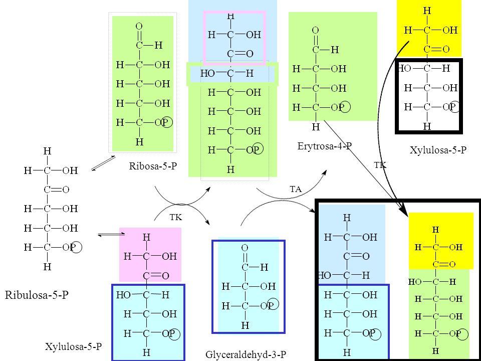 Ribulosa-5-P C H O P H Erytrosa-4-P Xylulosa-5-P Ribosa-5-P C H O P H