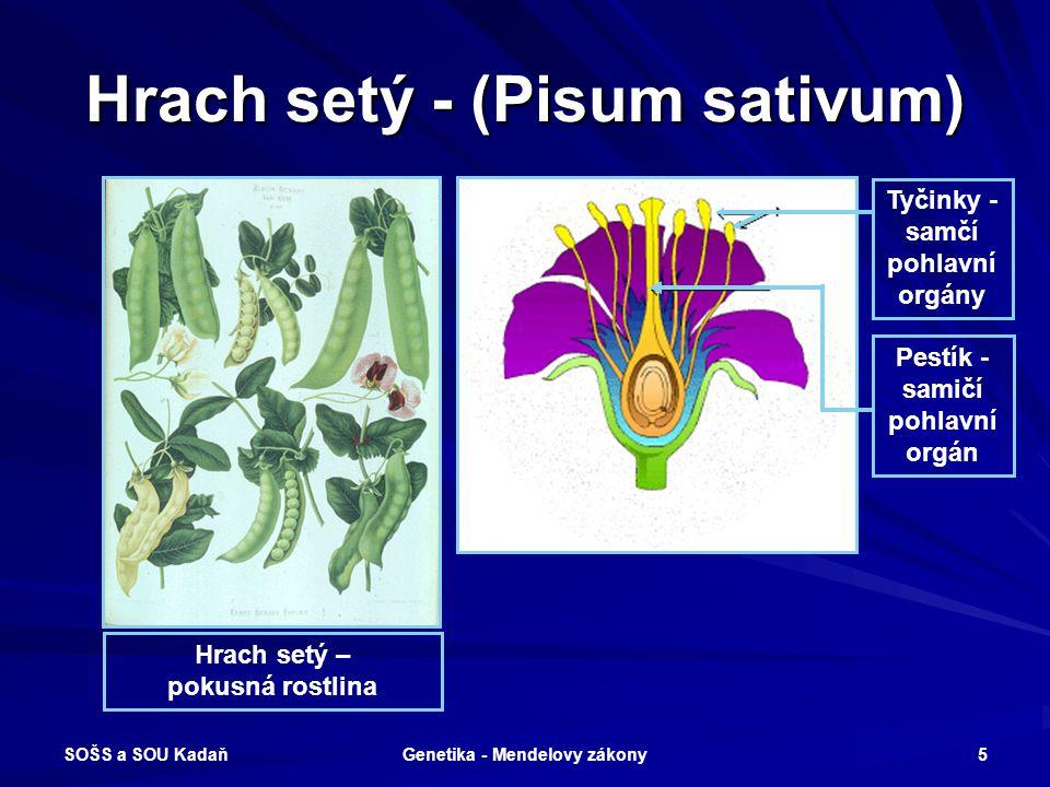 Hrach setý - (Pisum sativum)
