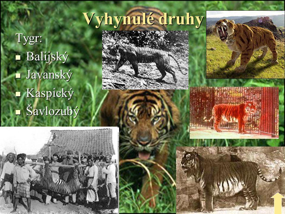 Vyhynulé druhy Tygr: Balijský Javanský Kaspický Šavlozubý