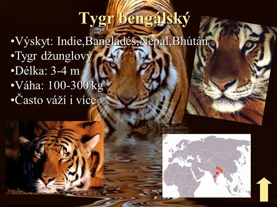 Tygr bengálský Výskyt: Indie,Bangladéš,Nepál,Bhútán Tygr džunglový