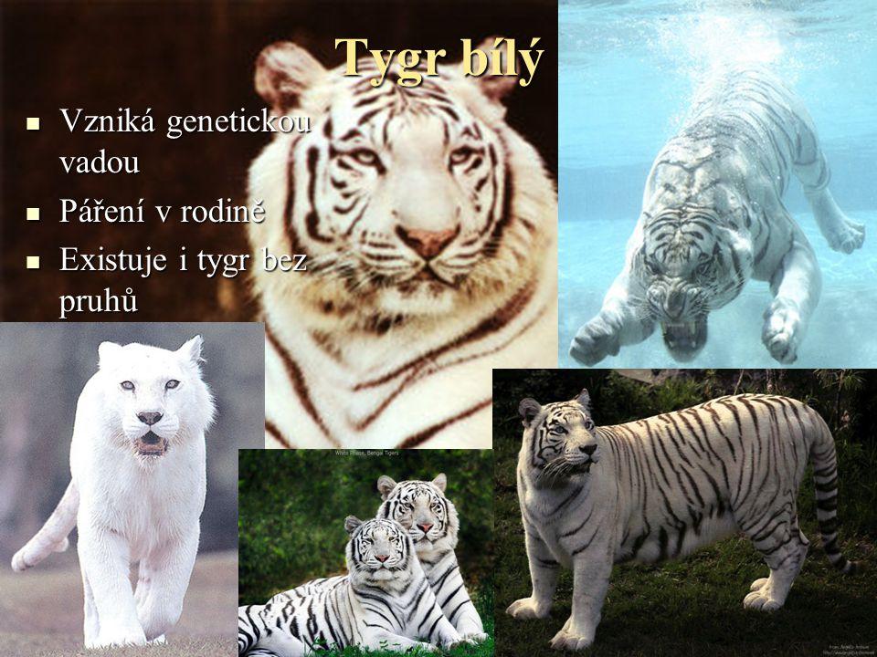 Tygr bílý Vzniká genetickou vadou Páření v rodině