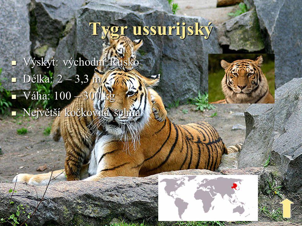 Tygr ussurijský Výskyt: východní Rusko Délka: 2 – 3,3 m