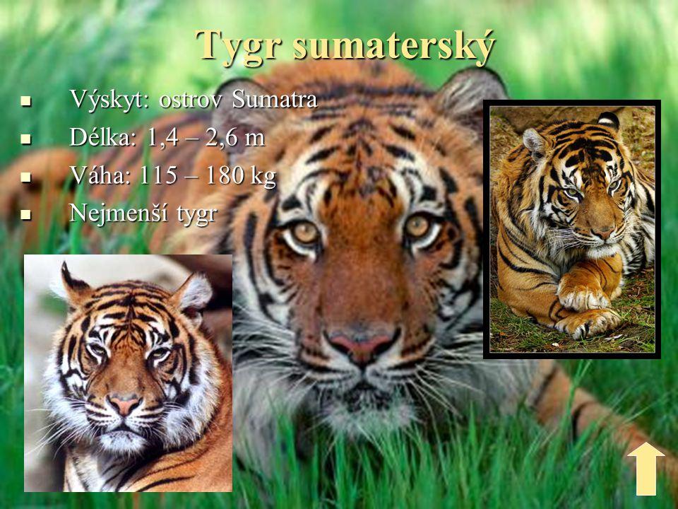 Tygr sumaterský Výskyt: ostrov Sumatra Délka: 1,4 – 2,6 m