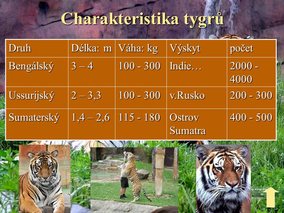 Charakteristika tygrů