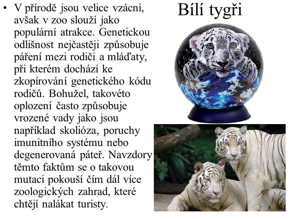 Bílí tygři