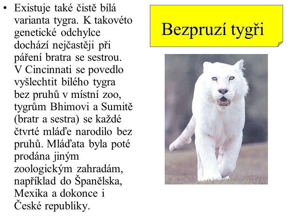 Existuje také čistě bílá varianta tygra