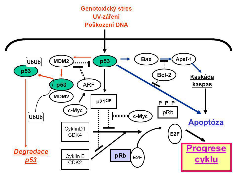 Progrese cyklu Apoptóza Degradace p53 Genotoxický stres UV-záření