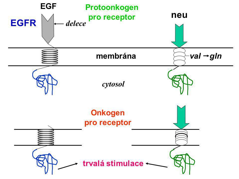 neu EGFR EGF Protoonkogen pro receptor delece membrána val gln cytosol