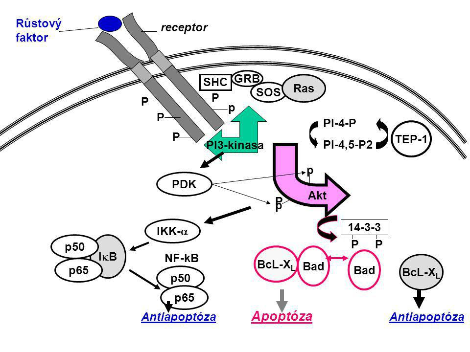 Růstový faktor. receptor. SHC. GRB. Ras. SOS. P. P. p. P. PI3-kinasa. PI-4-P. PI-4,5-P2.