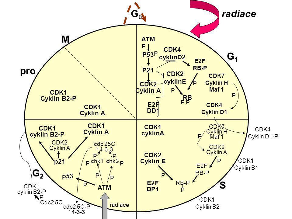 G0 radiace M G1 pro G2 S ATM P53 CDK4 cyklinD2 P21 CDK2 Cyklin A CDK2