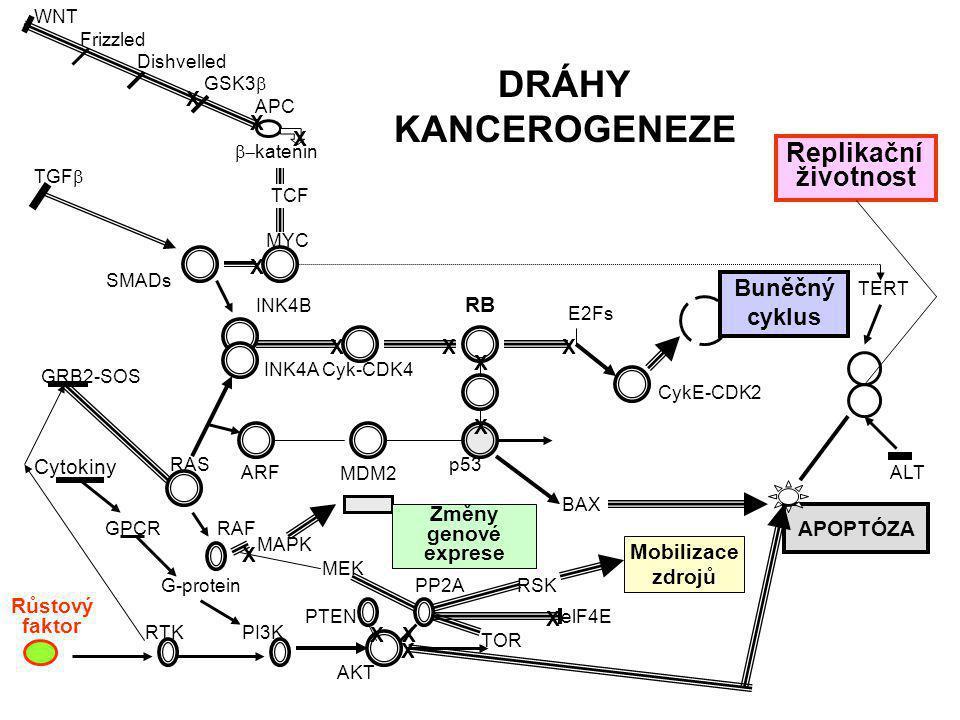 DRÁHY KANCEROGENEZE Replikační životnost Buněčný cyklus X X X X X X X