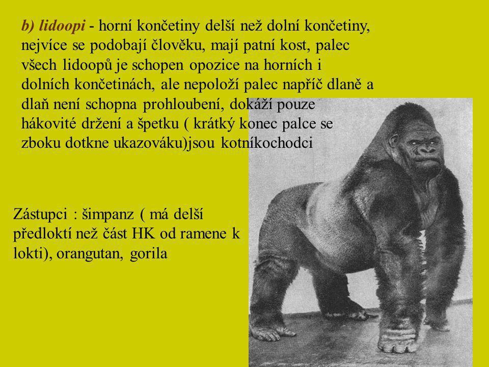 b) lidoopi - horní končetiny delší než dolní končetiny, nejvíce se podobají člověku, mají patní kost, palec všech lidoopů je schopen opozice na horních i dolních končetinách, ale nepoloží palec napříč dlaně a dlaň není schopna prohloubení, dokáží pouze hákovité držení a špetku ( krátký konec palce se zboku dotkne ukazováku)jsou kotníkochodci