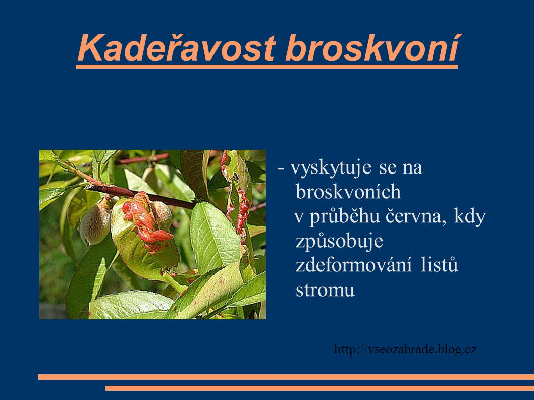 Kadeřavost broskvoní - vyskytuje se na broskvoních