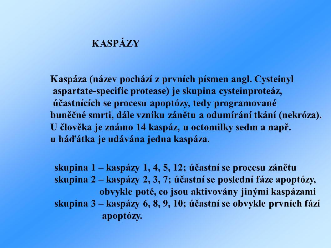KASPÁZY Kaspáza (název pochází z prvních písmen angl. Cysteinyl. aspartate-specific protease) je skupina cysteinproteáz,