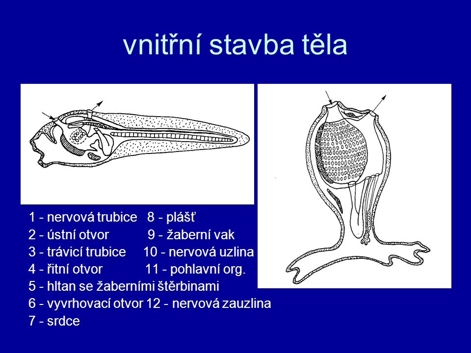 vnitřní stavba těla 1 - nervová trubice 8 - plášť