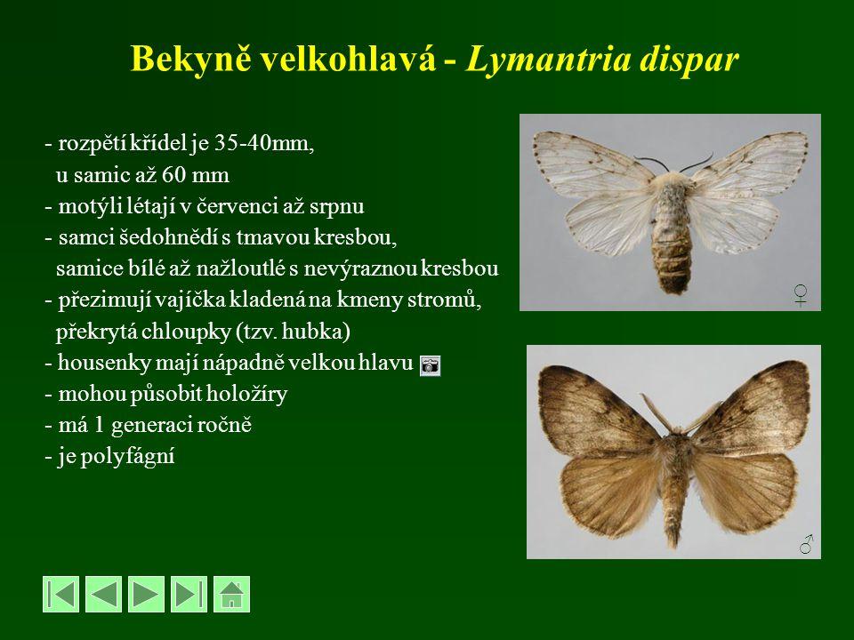 Bekyně velkohlavá - Lymantria dispar