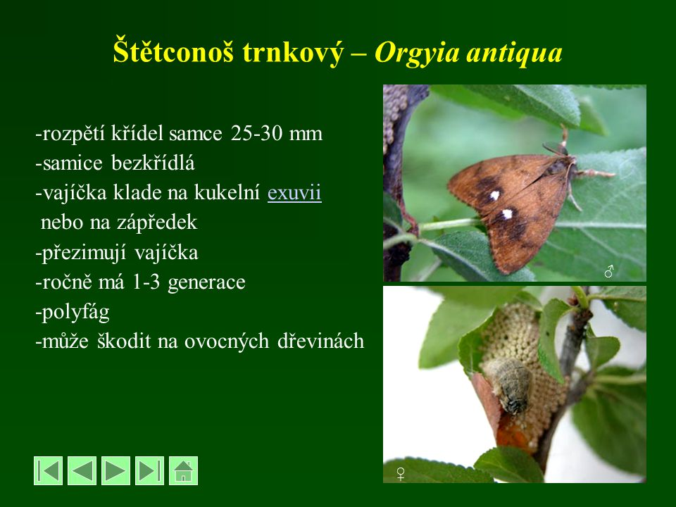 Štětconoš trnkový – Orgyia antiqua