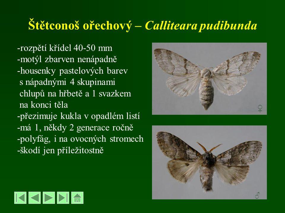 Štětconoš ořechový – Calliteara pudibunda
