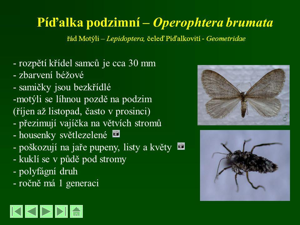 Píďalka podzimní – Operophtera brumata řád Motýli – Lepidoptera, čeleď Píďalkovití - Geometridae