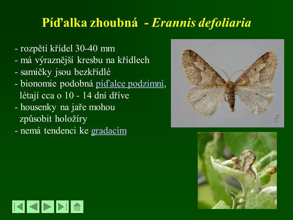 Píďalka zhoubná - Erannis defoliaria