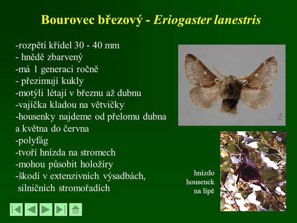 Bourovec březový - Eriogaster lanestris