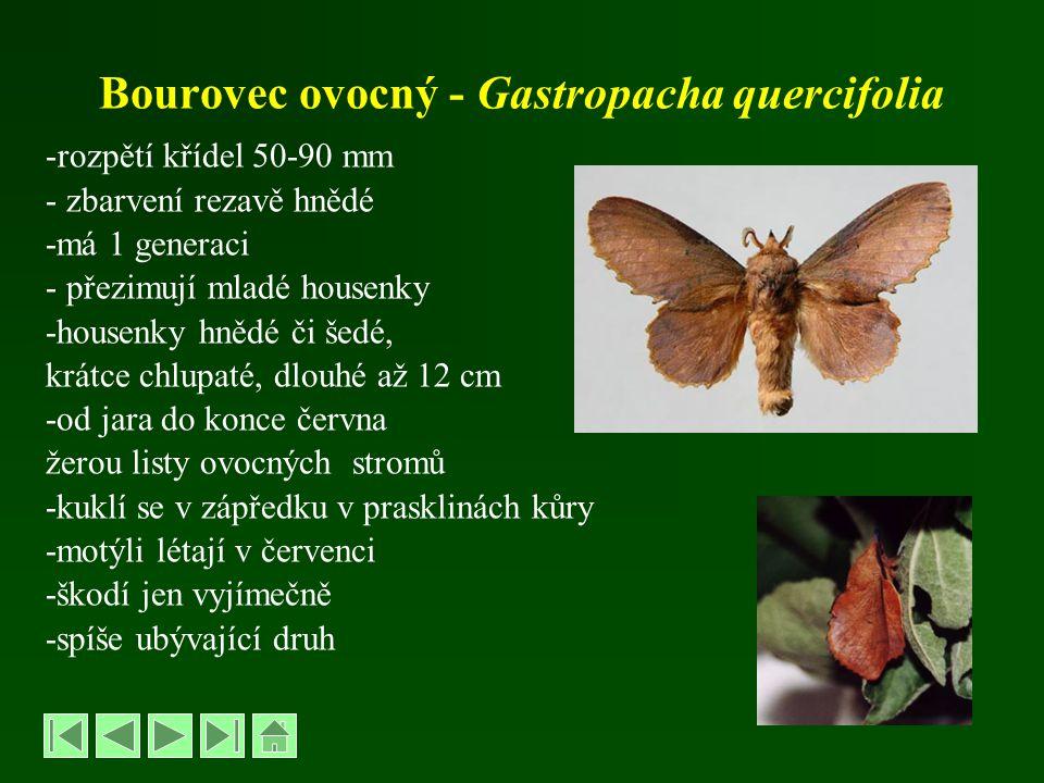 Bourovec ovocný - Gastropacha quercifolia