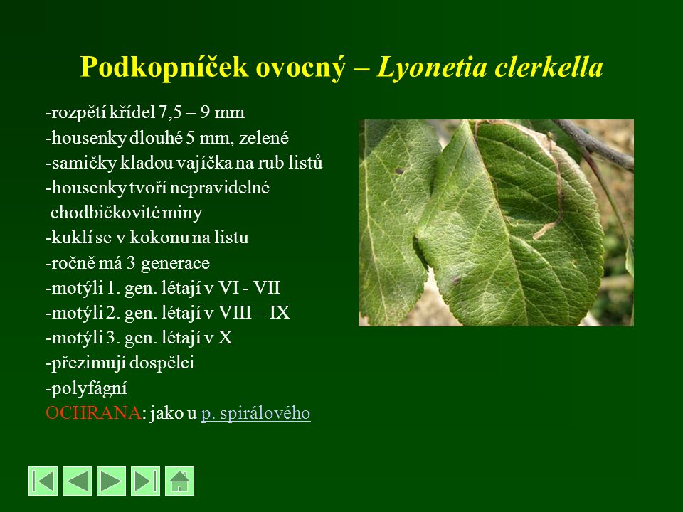 Podkopníček ovocný – Lyonetia clerkella