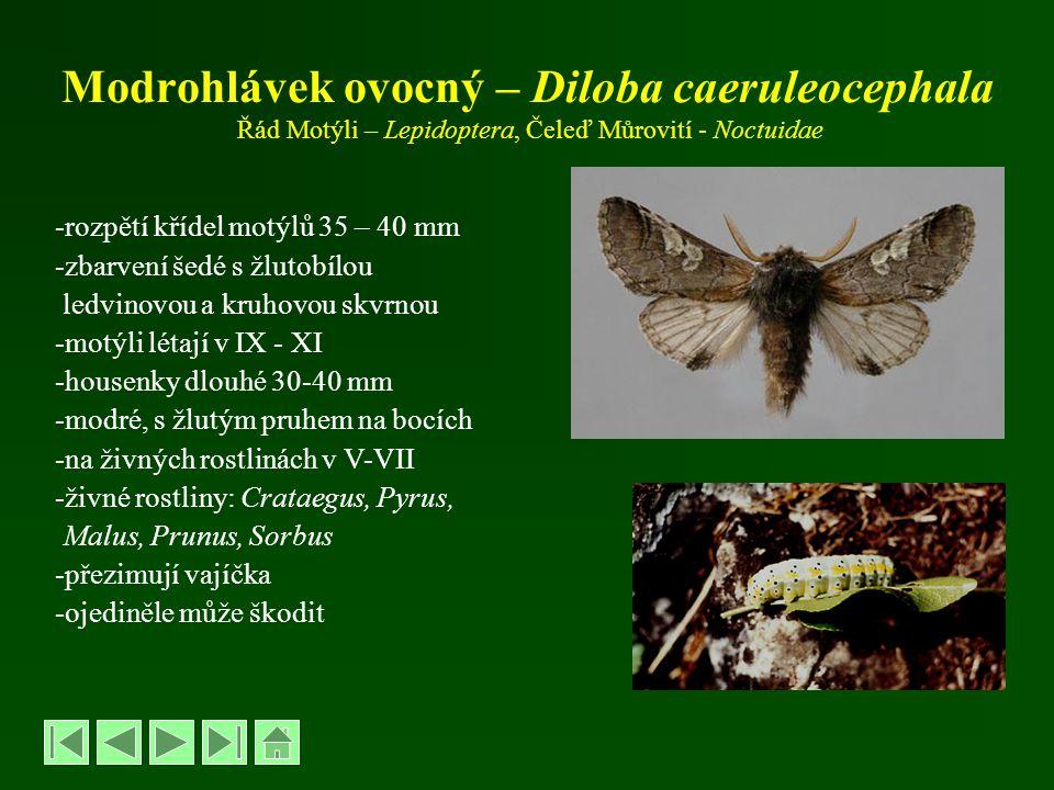Modrohlávek ovocný – Diloba caeruleocephala Řád Motýli – Lepidoptera, Čeleď Můrovití - Noctuidae