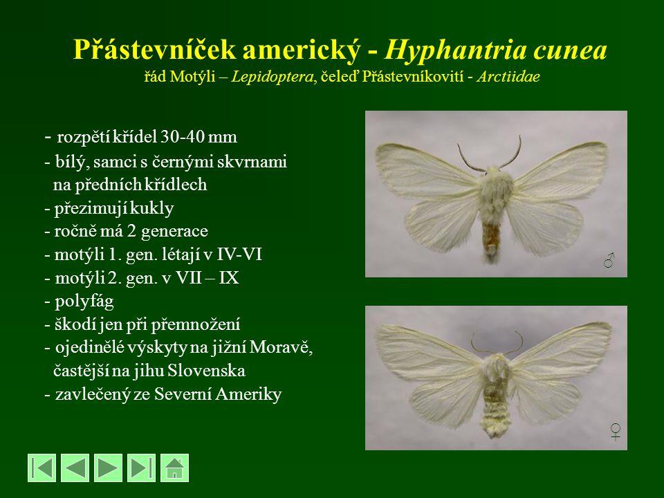 Přástevníček americký - Hyphantria cunea řád Motýli – Lepidoptera, čeleď Přástevníkovití - Arctiidae