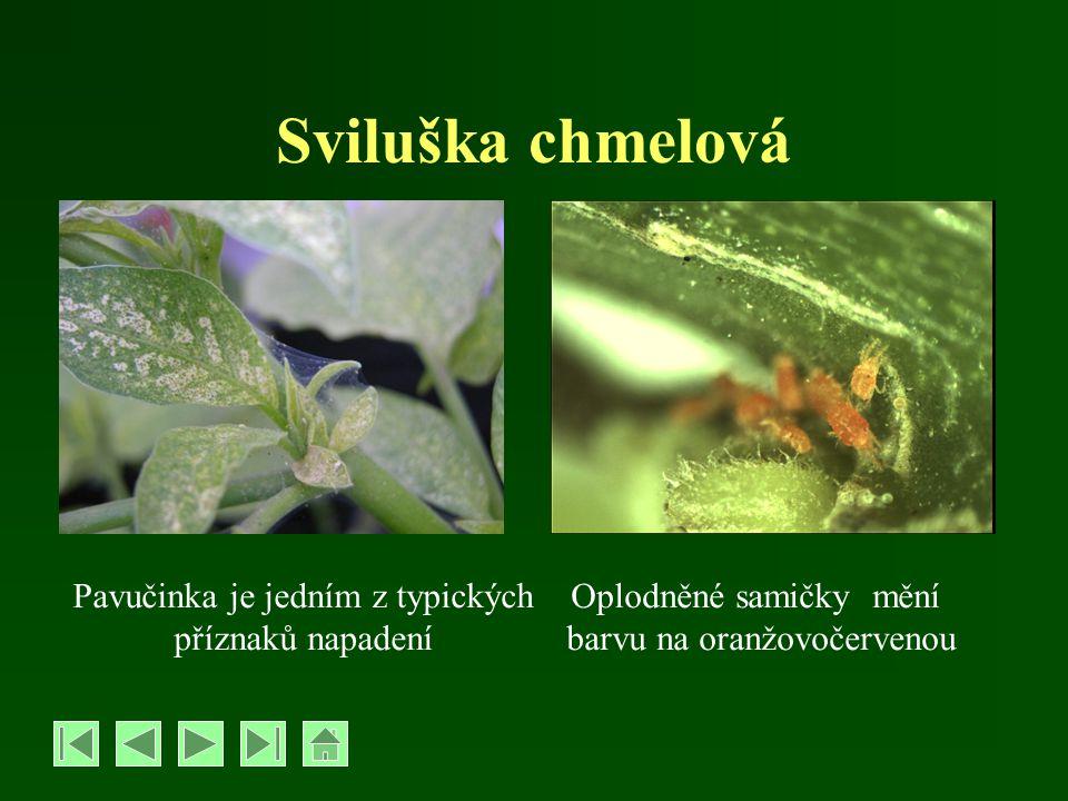 Sviluška chmelová Pavučinka je jedním z typických příznaků napadení