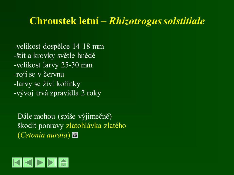 Chroustek letní – Rhizotrogus solstitiale