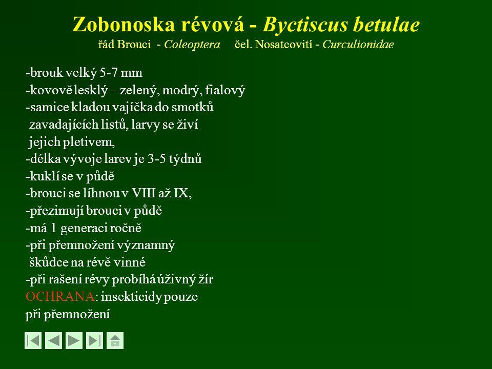 Zobonoska révová - Byctiscus betulae řád Brouci - Coleoptera čel
