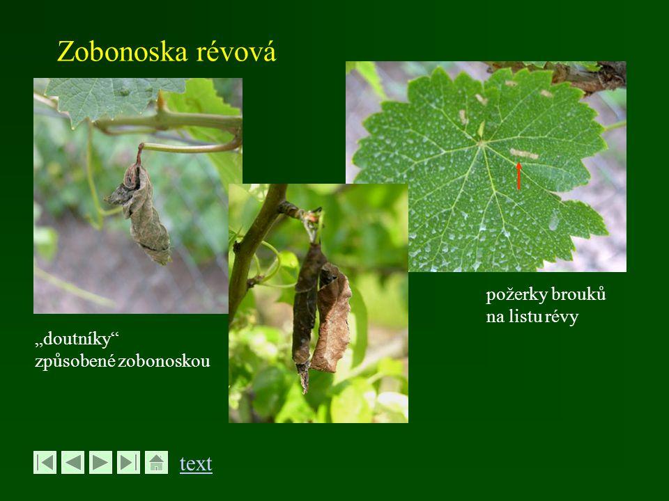 """Zobonoska révová text požerky brouků na listu révy """"doutníky"""