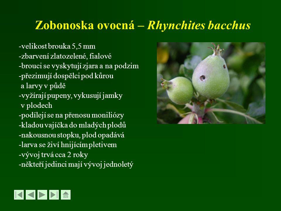 Zobonoska ovocná – Rhynchites bacchus