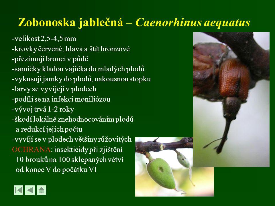Zobonoska jablečná – Caenorhinus aequatus