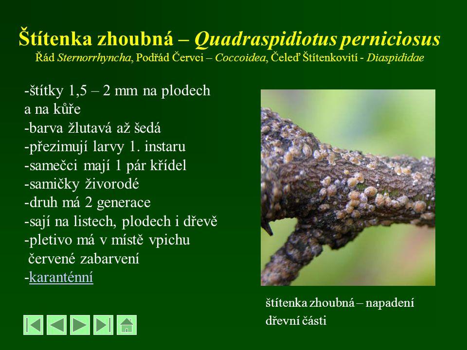 Štítenka zhoubná – Quadraspidiotus perniciosus Řád Sternorrhyncha, Podřád Červci – Coccoidea, Čeleď Štítenkovití - Diaspididae