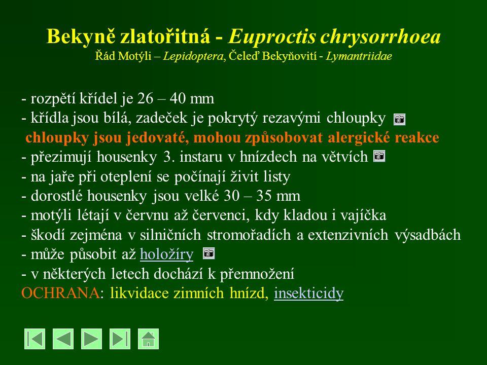 Bekyně zlatořitná - Euproctis chrysorrhoea Řád Motýli – Lepidoptera, Čeleď Bekyňovití - Lymantriidae