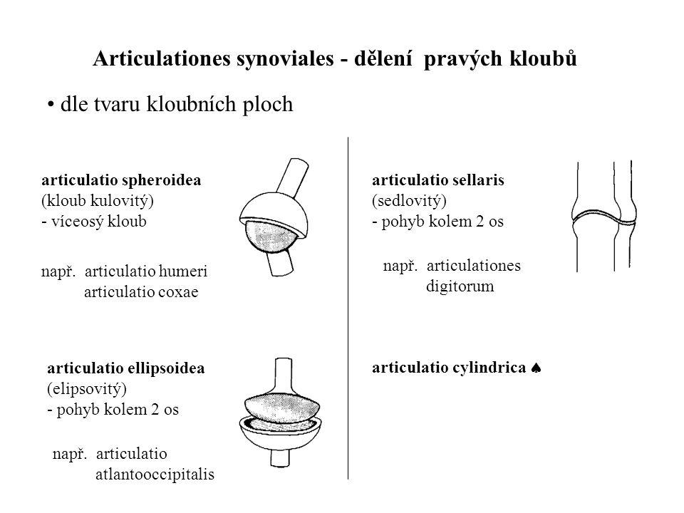 Articulationes synoviales - dělení pravých kloubů