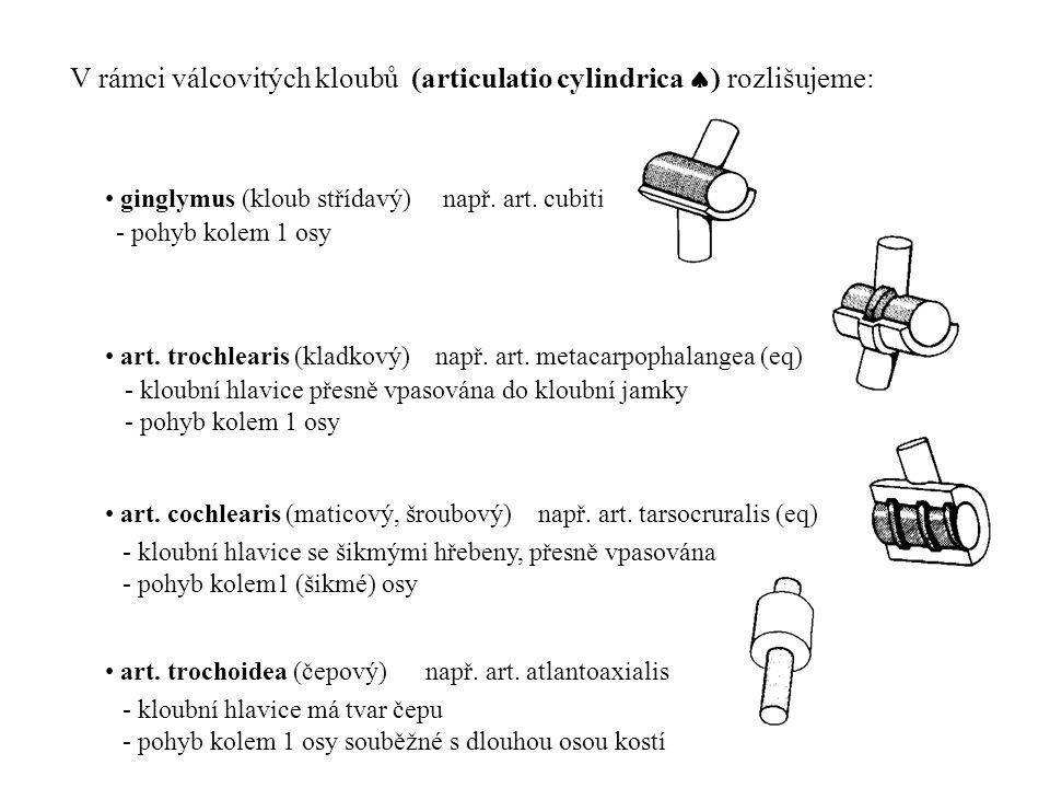 V rámci válcovitých kloubů (articulatio cylindrica ) rozlišujeme:
