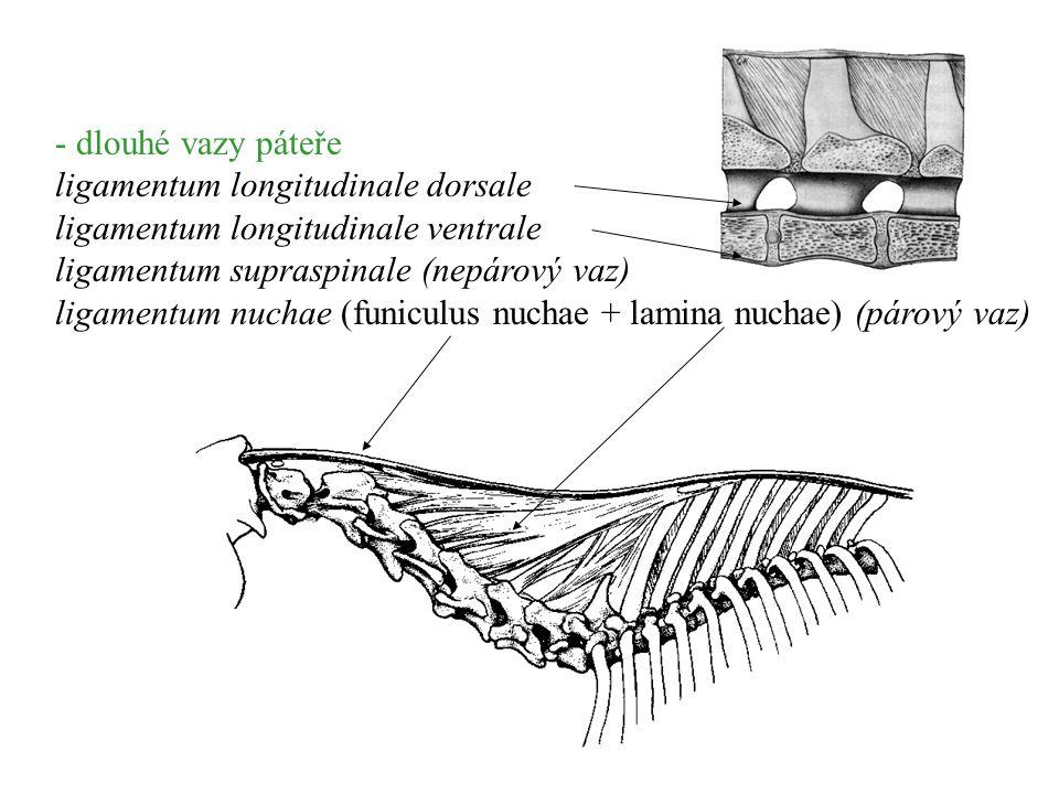 - dlouhé vazy páteře ligamentum longitudinale dorsale. ligamentum longitudinale ventrale. ligamentum supraspinale (nepárový vaz)