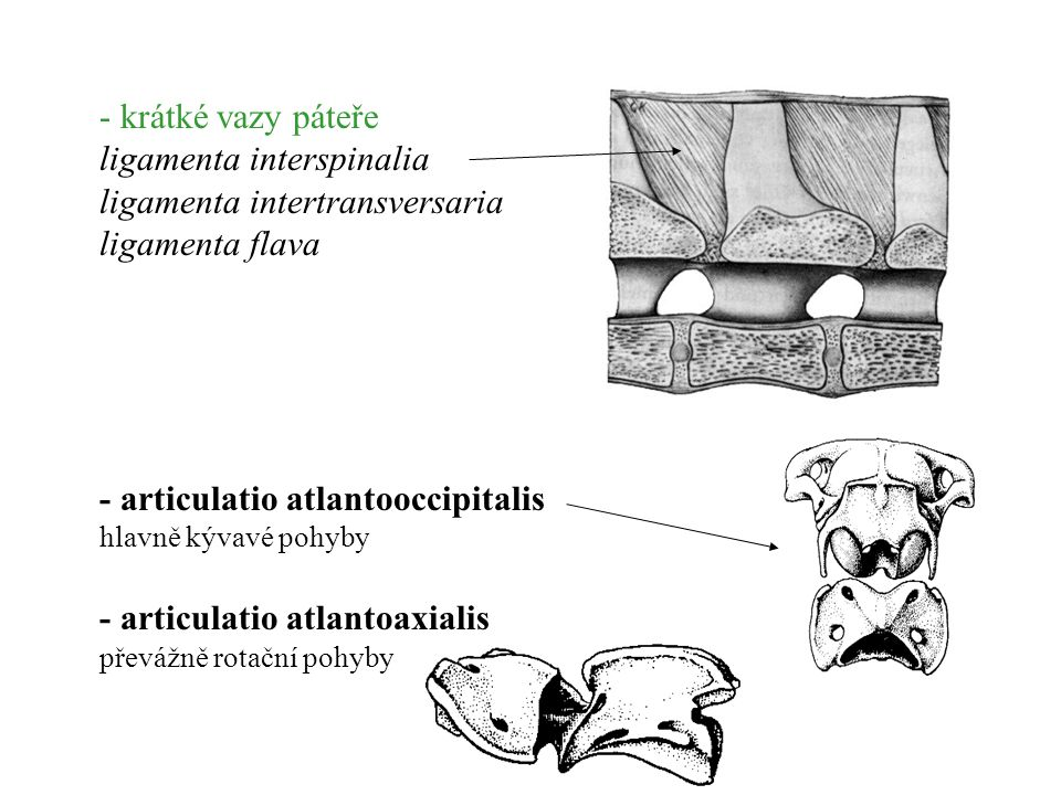 ligamenta interspinalia ligamenta intertransversaria ligamenta flava