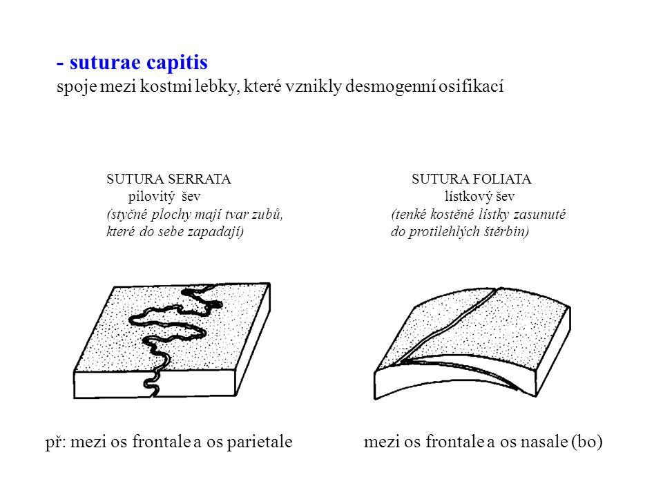 - suturae capitis spoje mezi kostmi lebky, které vznikly desmogenní osifikací.