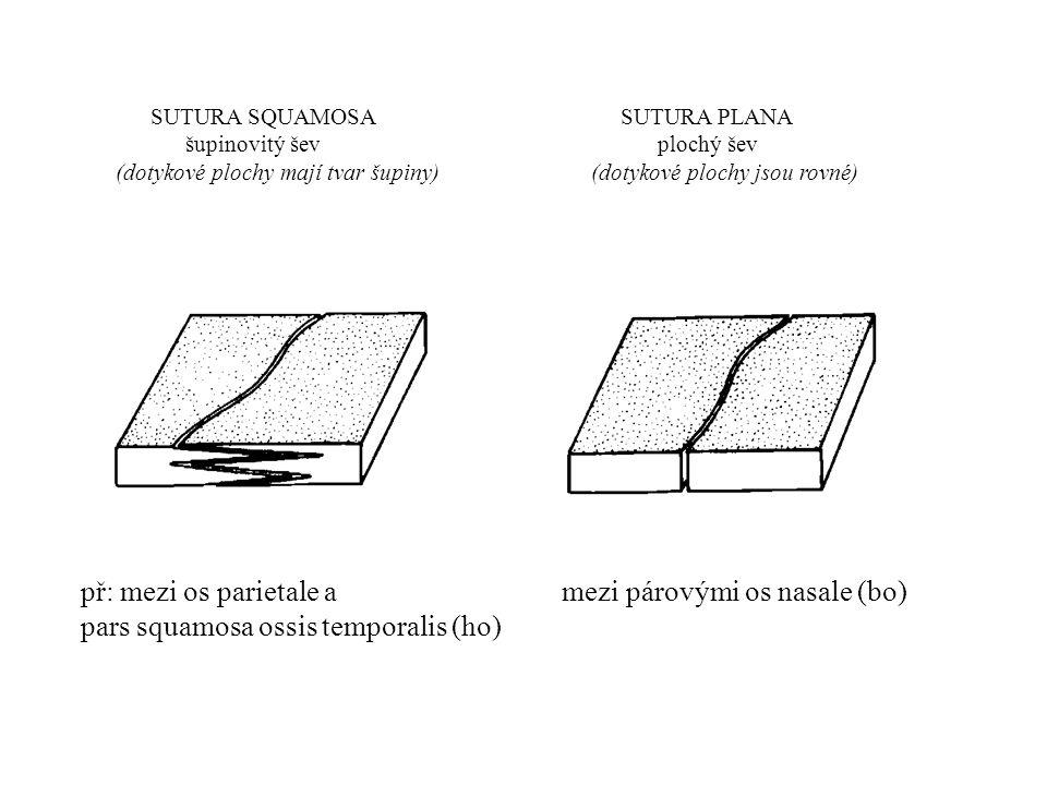 př: mezi os parietale a mezi párovými os nasale (bo)