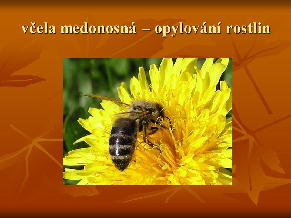 včela medonosná – opylování rostlin
