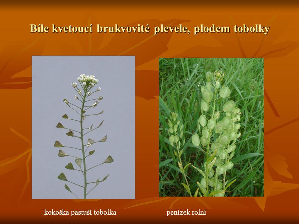 Bíle kvetoucí brukvovité plevele, plodem tobolky