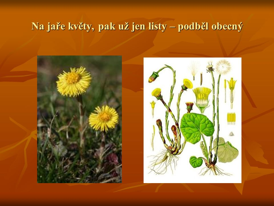 Na jaře květy, pak už jen listy – podběl obecný