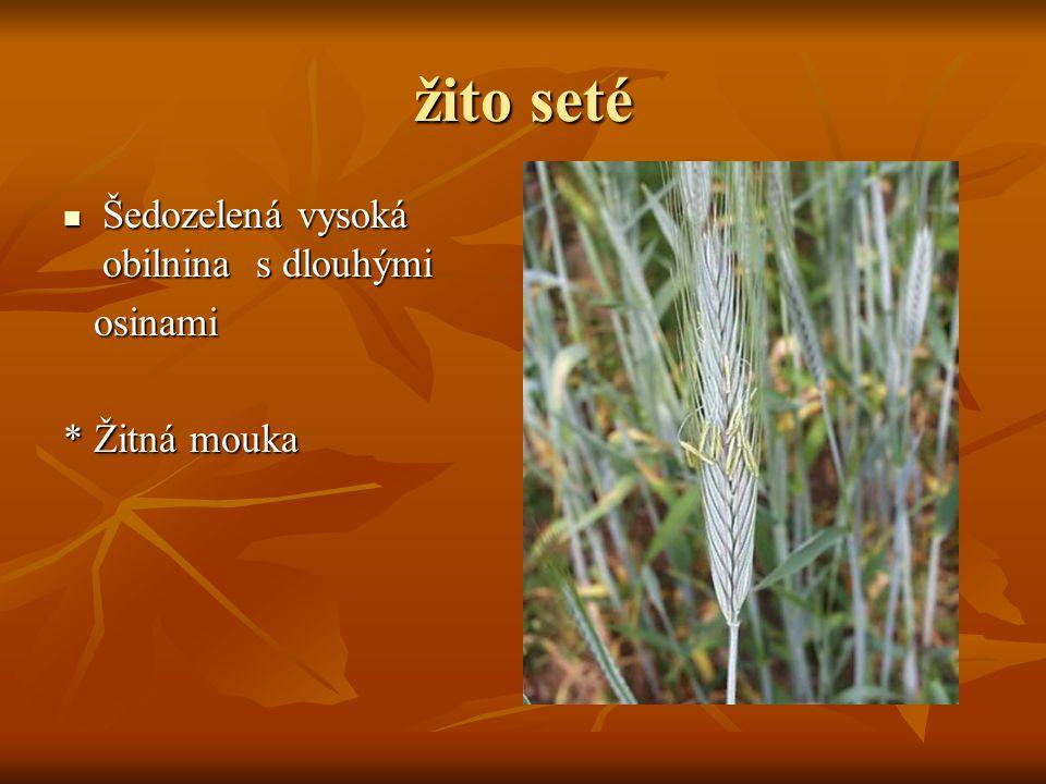 žito seté Šedozelená vysoká obilnina s dlouhými osinami * Žitná mouka