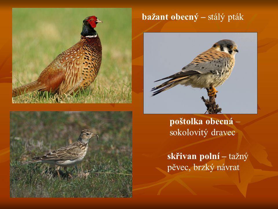 bažant obecný – stálý pták