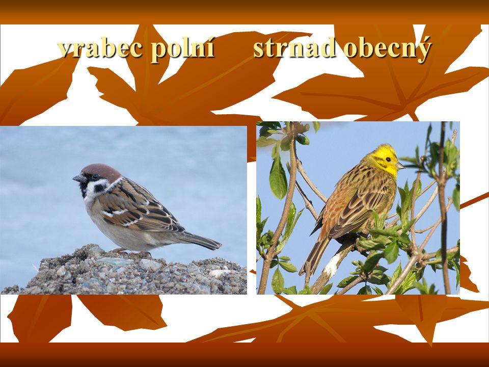 vrabec polní strnad obecný
